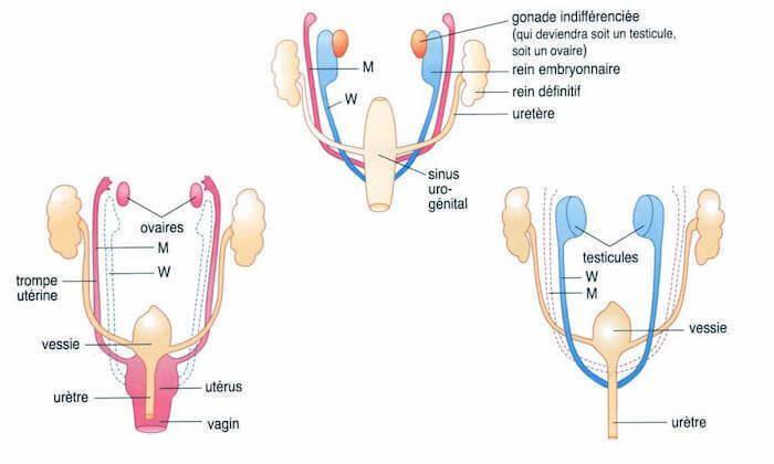 Différenciation sexuelle de l'embryon