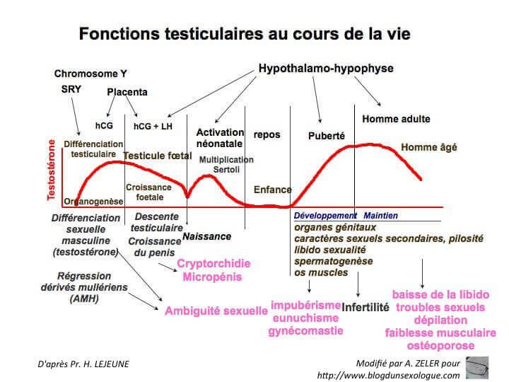 Fonctions testiculaires au cours de la vie