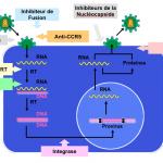 Mode d'action des traitements anti-rétroviraux