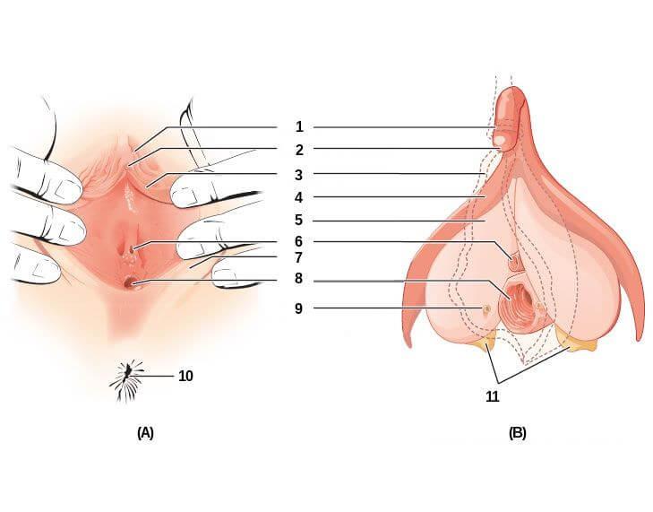 Anatomie de la vulve et du clitoris