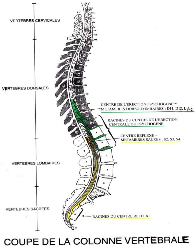 coupe_colonne_vertebrale